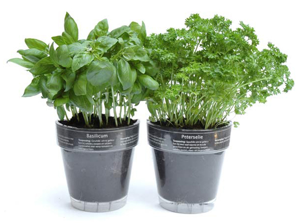 basil-and-parsley
